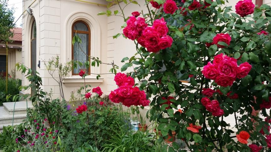 Trandafiri flori vara natura viata sanatate